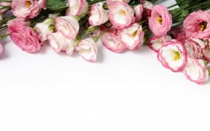 цветы, эустома