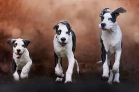 животные, собаки, щенки, три, псы, чёрно-белые, порода, молодые