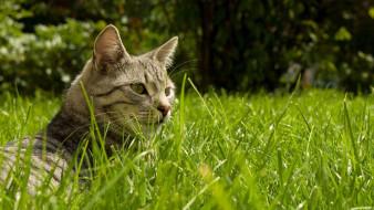 животные, коты, кот, серый, голова, поляна, трава