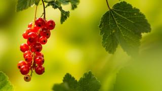 обои для рабочего стола 1920x1080 природа, ягоды, летом, красный, красная, смородина, вечерний, свет