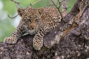 леопард, маленький, пятнистый, хищник, малыш, дерево, кошачьи