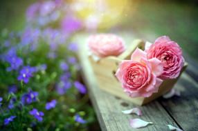 розовый, бутоны, розы, боке