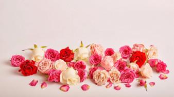 цветы, розы, бутоны, лепестки