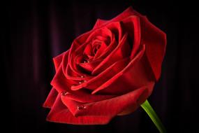 роза, цветы, розы, красная, цветок, капли