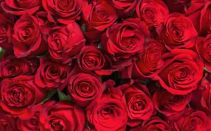 цветы, розы, красные, много