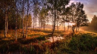 природа, лес, берёзовая, роща