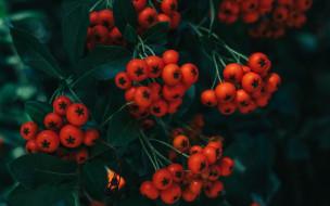 природа, ягоды,  рябина, рябина
