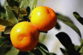 природа, плоды, апельсин