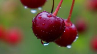 природа, ягоды, вишни