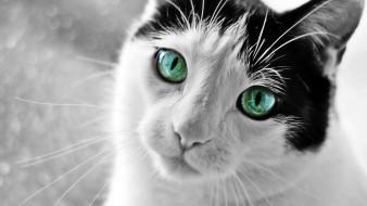 животные, коты, зеленоглазый, кот
