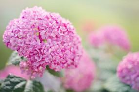 цветы, гортензия, гортензии, розовый, лето, сад