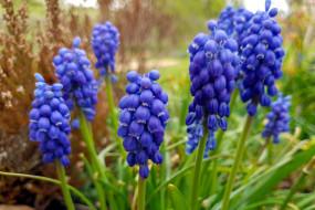 цветы, мускари, синий
