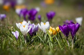 цветы, крокусы, весна, крокус, цвести, цветок, флора, цветение, природы