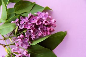 цветы, сирень, фиолетовый, карты, цветок