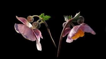 цветы, анемоны,  сон-трава, анемон