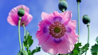 цветы, маки, розовый, мак, макро