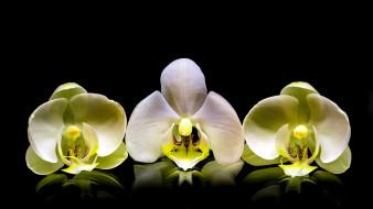цветы, орхидеи, трио