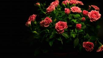 цветы, розы, букет, бутоны, капли