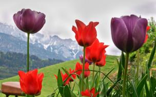 цветы, тюльпаны, горы, весна