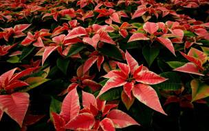 цветы, пуансеттия, рождественская, звезда