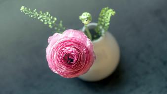 цветы, ранункулюс , азиатский лютик, одиночка