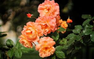 цветы, розы, персиковый