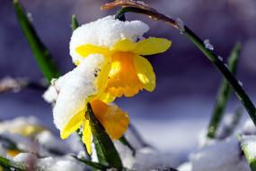 цветы, нарциссы, нарцисс, снег