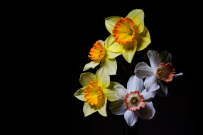цветы, нарциссы