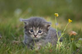 животные, коты, котенок, слишком, симпатичные, серый, мех