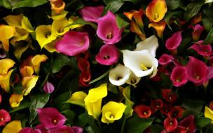 цветы, каллы, разноцветные