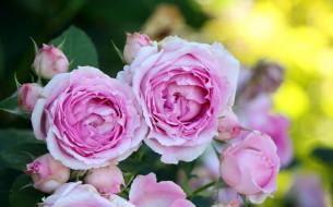 цветы, розы, розовые, бутоны
