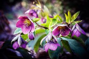 цветы, геллеборус , морозник, сиреневый