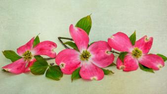 цветы, кизил, розовый