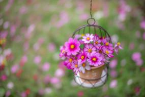 цветы, космея, розовый, букет