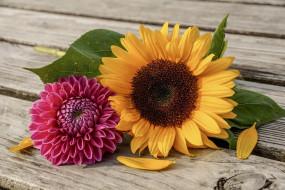 цветы, разные вместе, подсолнух, георгин, лето, солнечный, цвет, жёлтый, розовый, сад