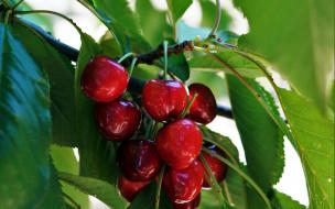природа, ягоды, вишня
