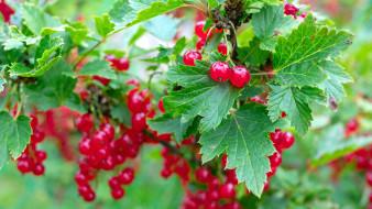 природа, ягоды, смородина