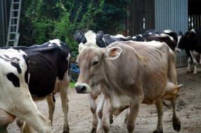 животные, коровы,  буйволы, стадо