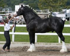 животные, лошади, конь, девушка, выставка