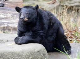 барибал, животные, медведи, медведь, чёрный, хищник