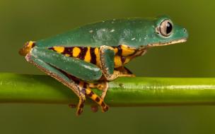 животные, лягушки, лягушка, древесная, зеленая, стебель