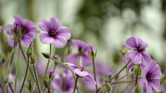 цветы, герань, лиловый