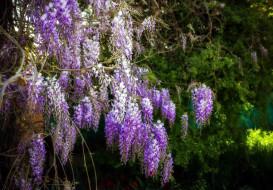 цветы, глициния, куст