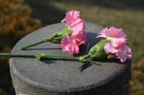 цветы, гвоздики, розовый