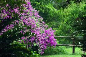 цветы, бугенвиллея, куст