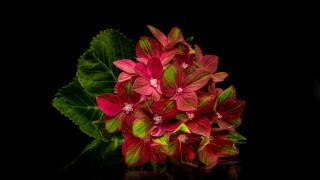 цветы, гортензия, соцветие