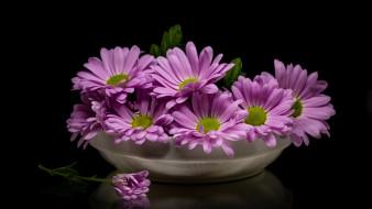 цветы, остеоспермумы, розовый