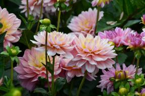 цветы, георгины, цвести, флора, цветник, сад