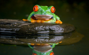 животные, лягушки, лягушка, древесная, камень, вода