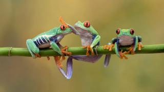 животные, лягушки, древесные, стебель